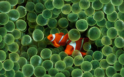 Clown fish Anemone iPhone Wall